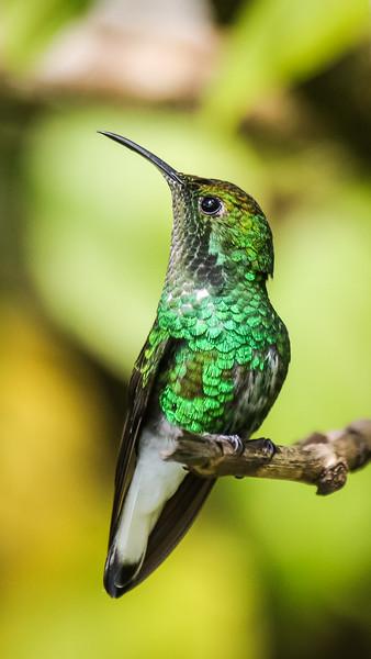 Costa Rica, nature, wildlife, outdoor photography, EOS 70d Trochilidae, hummingbird, hummingbirds