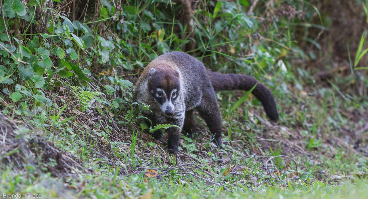 This coati got pretty close to us - must be used to jabroni tourists.