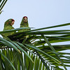 Red-Lored Amazon Parrots