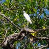 juvenile small blue heron