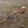 iguana (swimming)