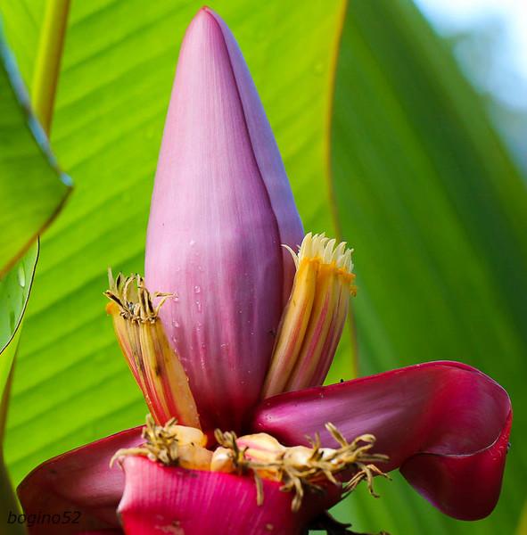 From banana plant.