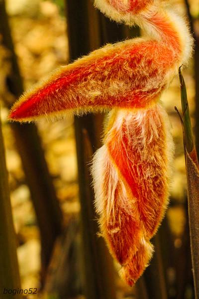Fuzzy Heliconia, Paradise Peak.