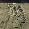 Giant Turtle tracks on Playa Carate.