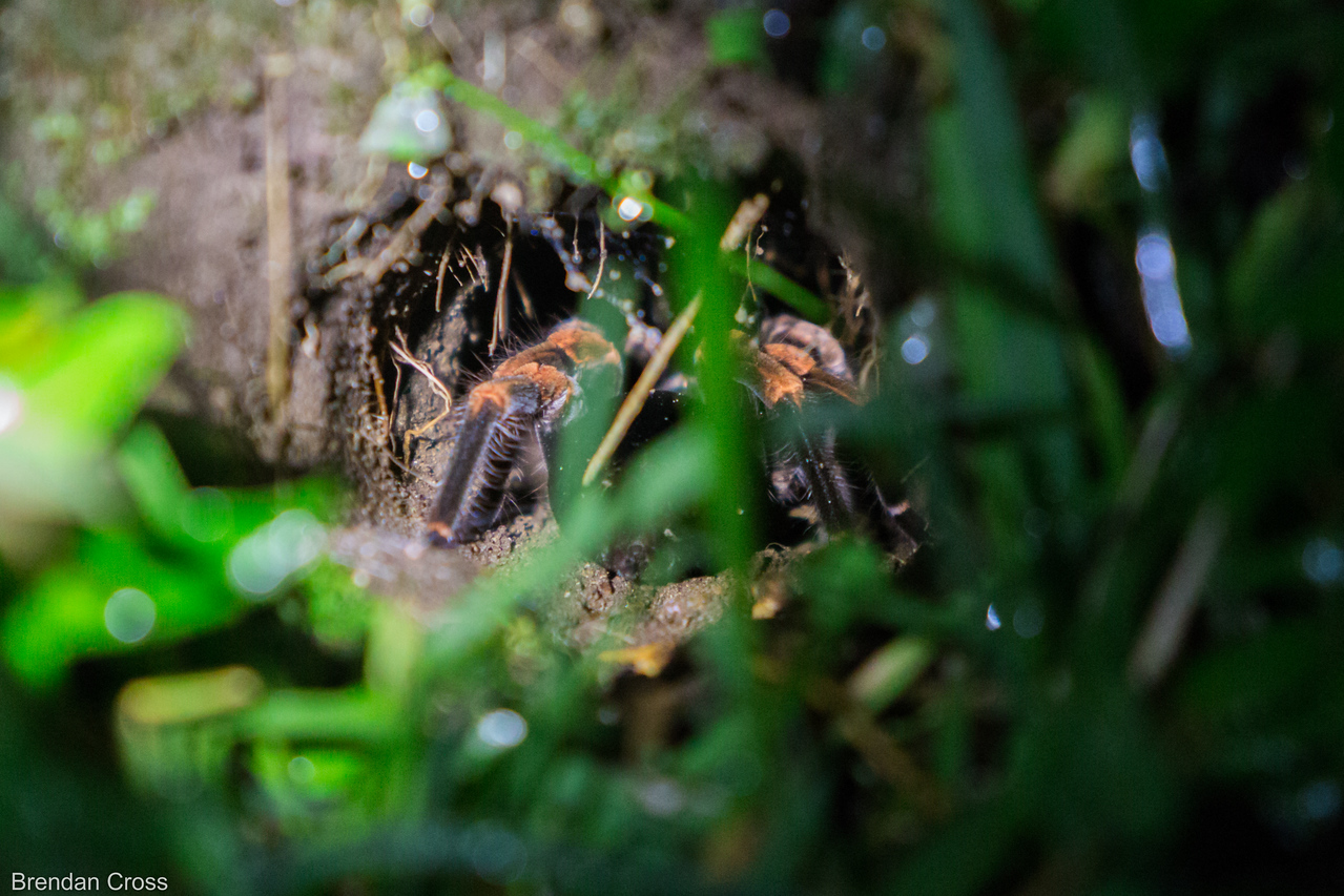 A tarantula close to the Santamaria Night Tour's office.