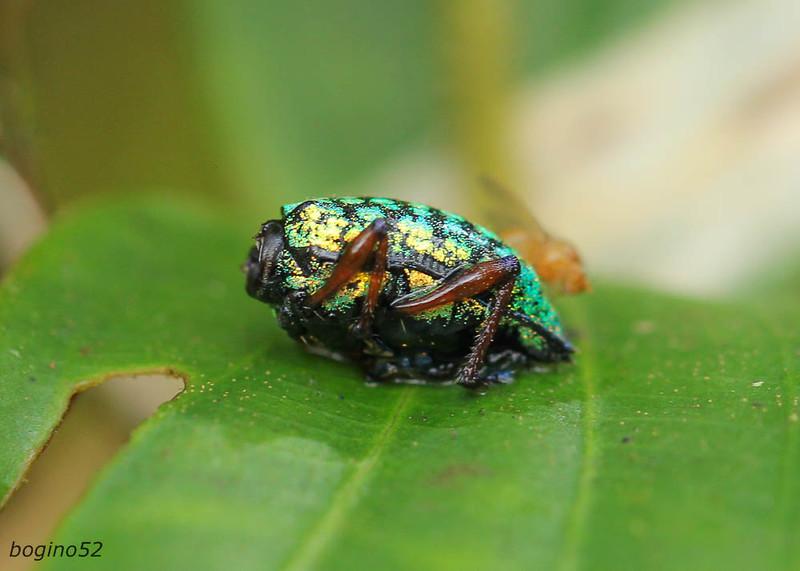 A very tiny and strange bug on a leaf.  Tapanti National Park.