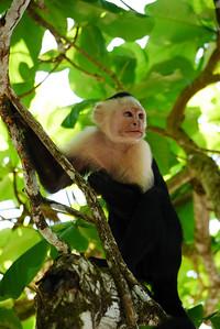 Capachin (white faced) Monkey