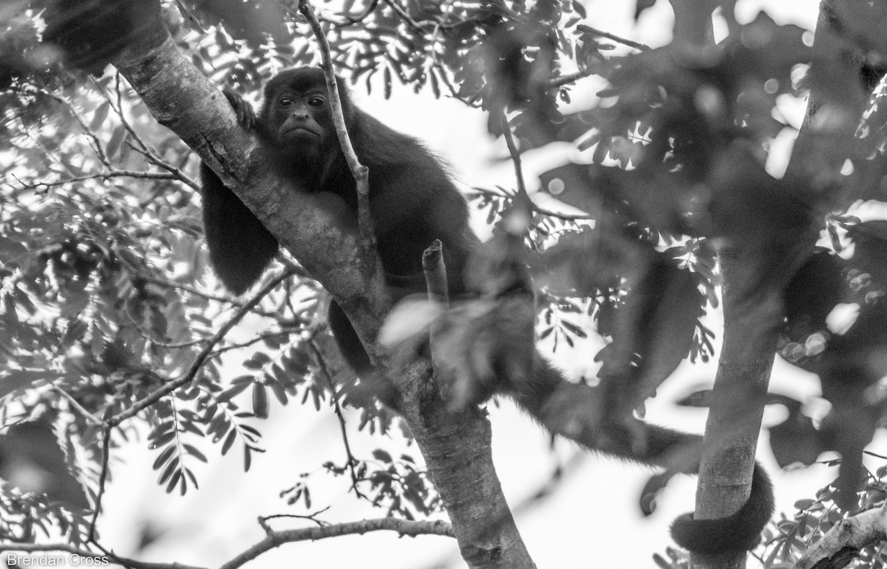 Howler monkey taking a good look at us.