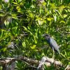 small blue heron