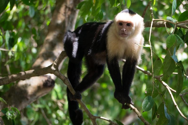 Cappachin Monkey