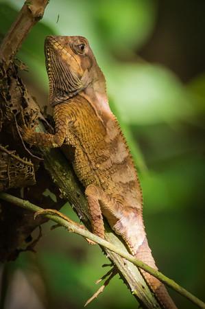 Helmeted Lizard - Corytophanes cristatus