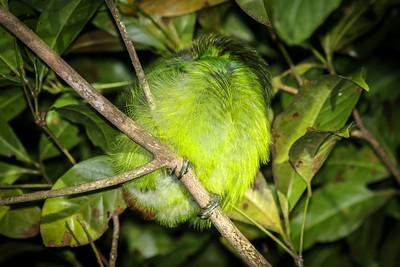 Costa Rica, nature, wildlife, outdoor photography, EOS 70d, emerald toucanet