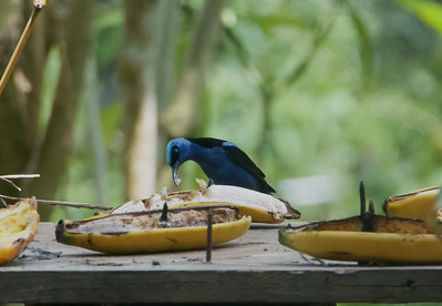 Red-legged Honeycreeper - male