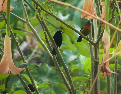 Cherrie's Tanager - male on left and female on right