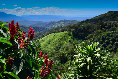 coffee fields at 4000 ft