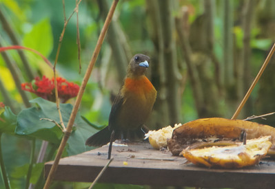 Cherrie's Tanager - female