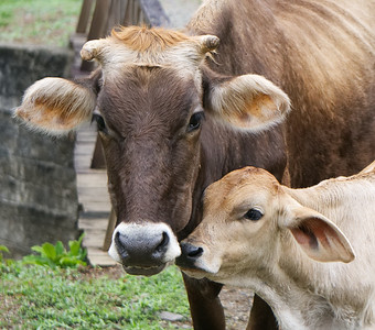 Neighbour's cows