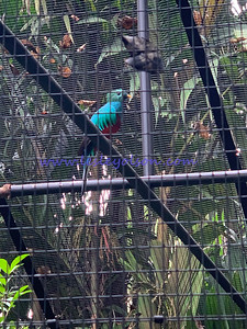 Quetzal at Zoo Ave