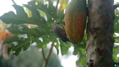 Video - Red-crowned Woodpecker ♀︎ (Melanerpes rubricapillus)