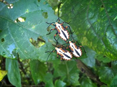 Coreidae nymphs (?)