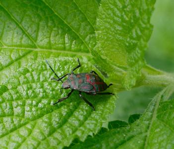 Some sort of stink bug (I think)