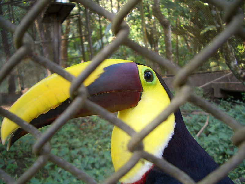 Captive toucan expecting a food handout from me. They actually eat other little birds and fruit with that serrated beak.