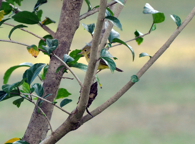 That same little yellow and gray bird that I think is a warbler.