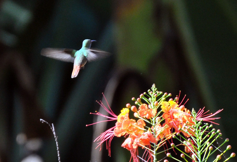 First early morning at Canto; animals and birds were very active early each morning.I think this is a Rufous-tailed Hummingbird. I am not sure about the various flowers - let me know if you have an idea as to what flowers are in these next few photos.