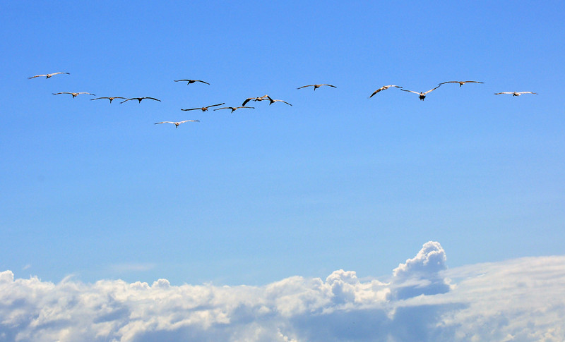 a line of large birds flying over the whale tail
