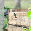 a Rufous-tailed hummingbird in the Canto garden