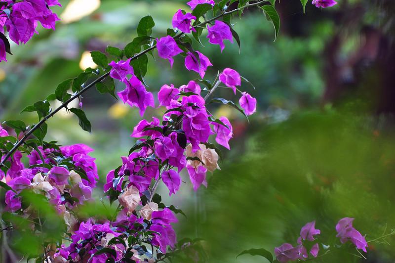 a purple bougainvillea in the Canto garden