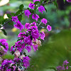 a purple bougainvillea in the Canto garden