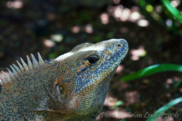 This is one of the many iguanas that hand out on the grounds at the Barcelo Hotel