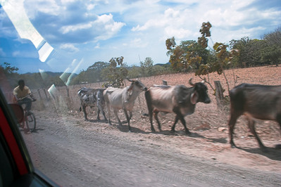 CR cattle, used for its meat and milk products...