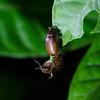 Phyllophaga sp Beetles mating