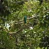 The Resplendent Quetzal, national bird of Guatemala.