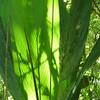 Parque Nacional Braulio Carillo, CR.  Feb. 5, 2012.<br /> La luz a través de las hojas.