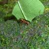 Hormiga de cortador de las hojas, Parque Nacional Braulio Carillo, Costa Rica, Feb. 5, 2012.<br /> Leafcutter ant.