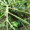 El trabajo de las hormigas de cortador de las hojas. A pesar del daño, la planta no muere.<br /> Feb. 6, 2012, Costa Rica.<br /> The work of leafcutter ants.  Despite the damage to leaves, the plant is not killed.