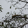 iguana in the tree in Tortoguero National Park.