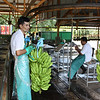 At the processing plant of the banana plantation.