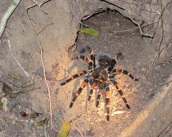 A female tarantula looking for prey outside her nest. This was taken during a night tour at Hidden Valley. It was very cold during this tour. We had on our winter jackets that we were only expecting to wear when we got back to DC.