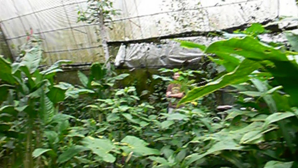 A short video Yan took of the blue morpho butterflies in flight.<br /> <br /> We were told that the life span of the butterfly is only about 3 months in the conservatory.