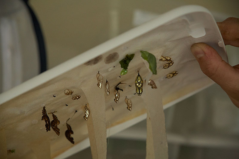 The cocoons of the glasswing butterflies.