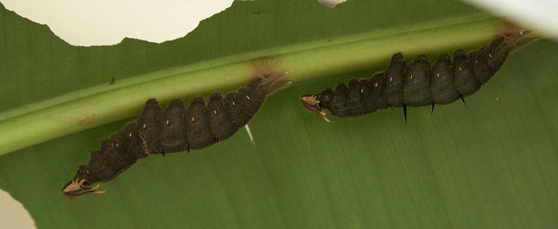 Two caterpillars in the conservatory's laboratory.