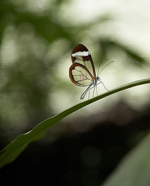 "A closer look at the glasswing butterfly. It is called ""mirror"" butterfly in Spanish."