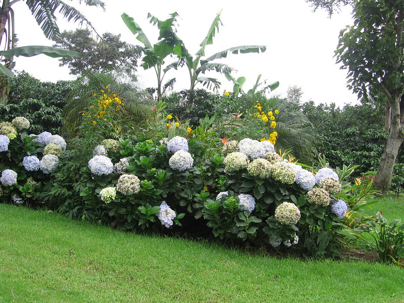 Hydrangeas on the grounds.
