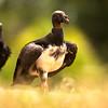 King Vulture - Koningsgier - Sarcoramphe roi - Zopilote rey (Sarcoramphus papa)