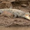 American Crocodile - Spitssnuitkrokodil - Crocodile américain - Cocodrilo (Crocodylus acutus)