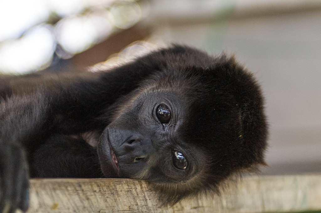 In Nosara we visited at Tibu, an howler monkey rescue. These monkeys are pretty common and unfortunately are being decimated via electrocution on ungrounded electric lines. The owners of Tibu started a rescue, taking in mostly orphans whose parents have been killed. Amazing place.